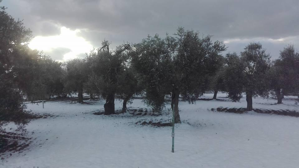 ulivi innevati di Puglia